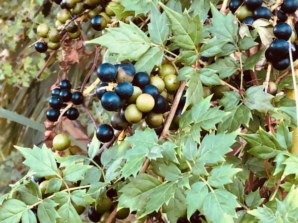 Palm Berries